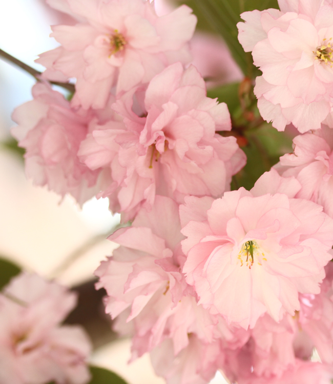 Cherry Blossoms, Sakura, Pink Cherry Blossoms, Cherry Blossoms New York, Floral Beauty