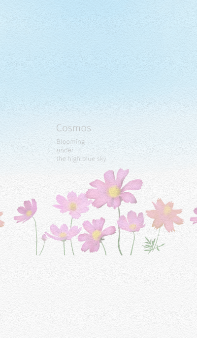 Cosmos Blooming under the high blue sky