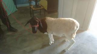 Homem é preso por suspeita de furtar carneiro em José da Penha
