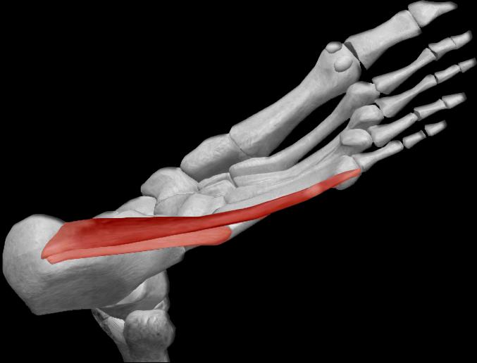 Músculo abductor del dedo pequeño | iinmed