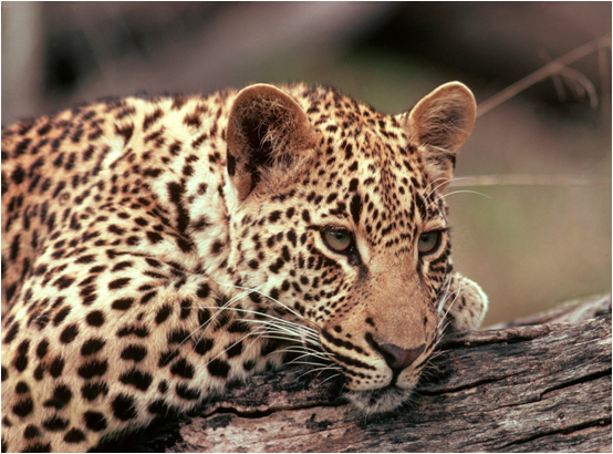 Leopard Facts , Amazing Leopard Facts
