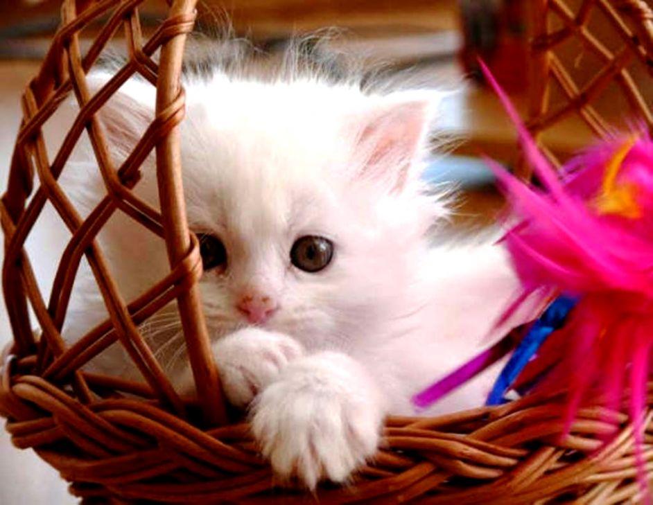 Sweet Kitten Basket Hd Wallpaper | Wallpapers PC