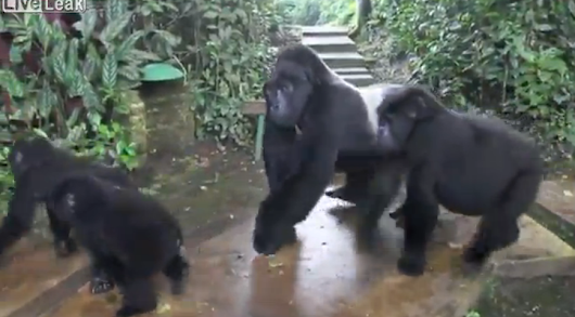 Troop of Gorillas Visit A Camp And Interact Peacefully With The People