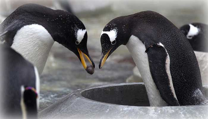 Penguins Propose By Gifting Pebbles