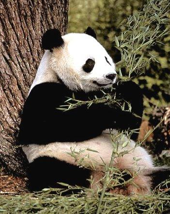 animales acojonantes animales acojonantes oso panda. Black Bedroom Furniture Sets. Home Design Ideas