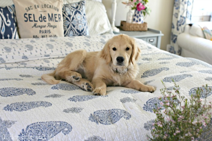 Golden Retriever puppy on bed with blue and white quilt - www.goldenboysandme.com
