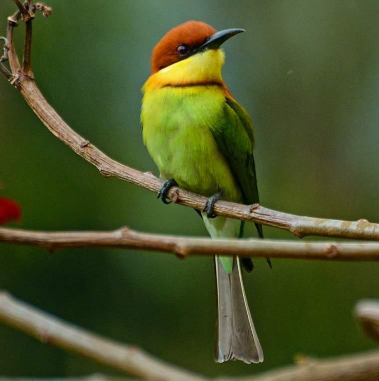 Chestnut-headed bee-eater photos | Birds of India | Bird World - photo#15