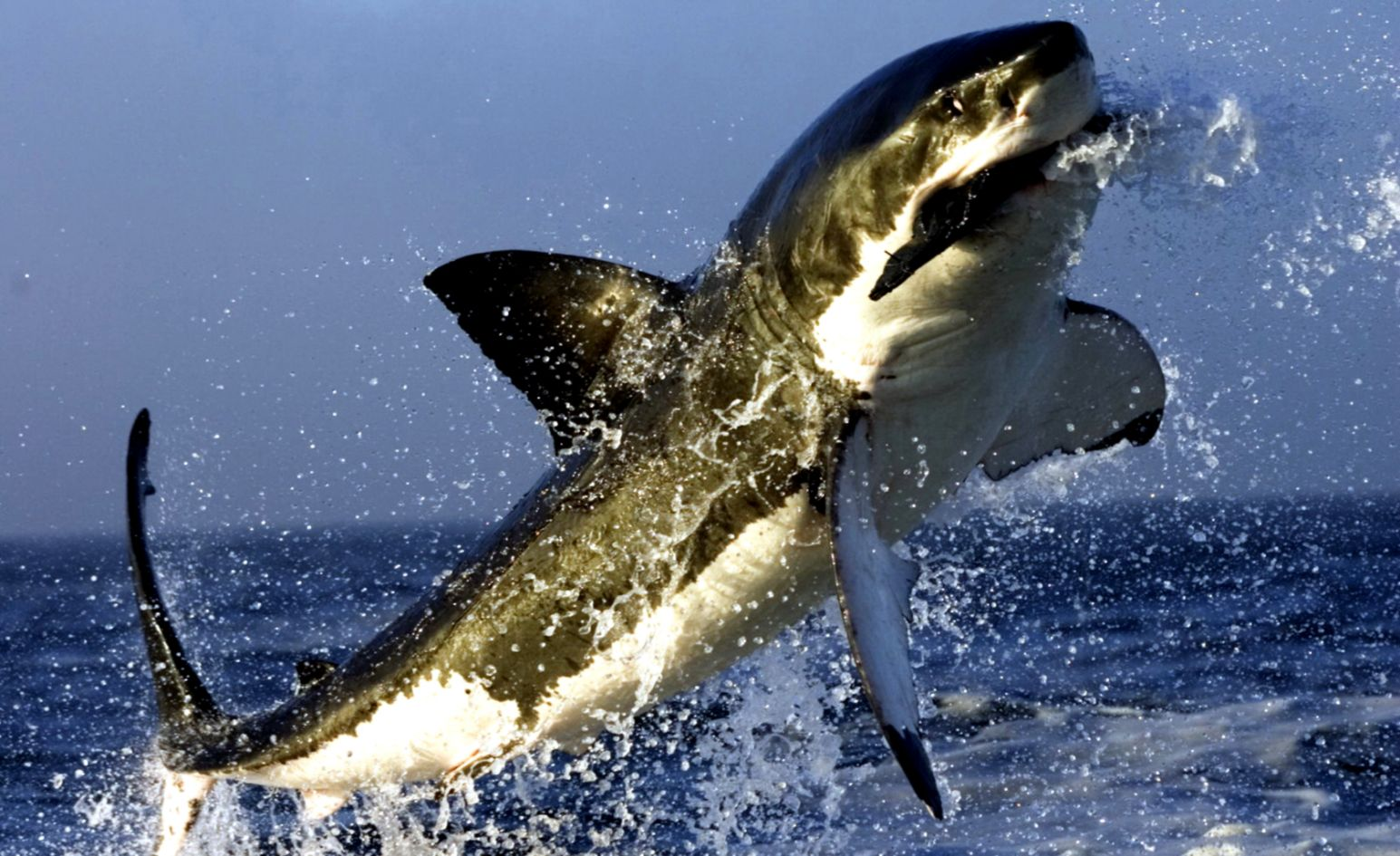 Shark Wallpaper and Background Image 1680x1050 ID86820