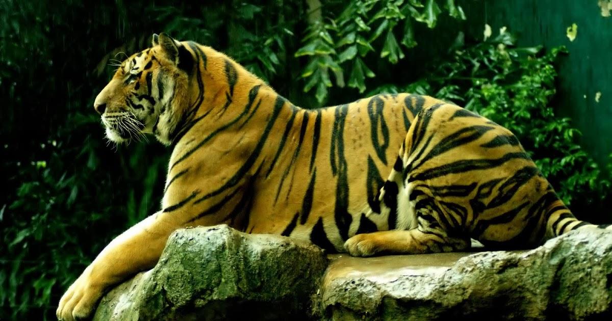Wallpapers Tiger Desktop Wallpapers