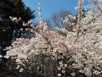 Sakura Tree at Shinjuku Gyoen Tokyo Japan
