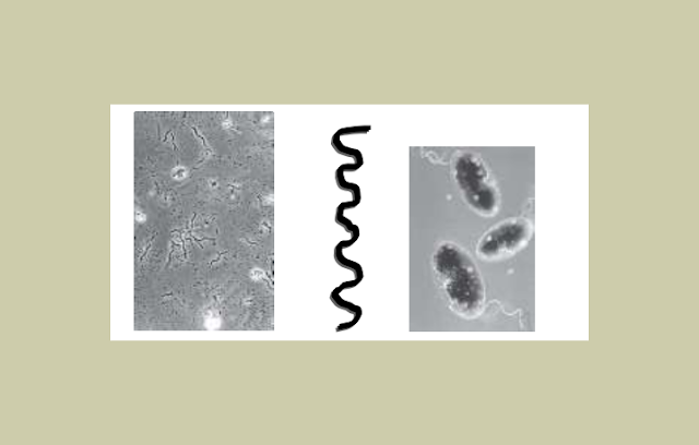 Bakteri Sprilium