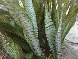 Jual Tanaman Sansivera Hijau Zeylanica | Tanaman Sansivera Trifasciata | Aneka Tanaman Sansivera