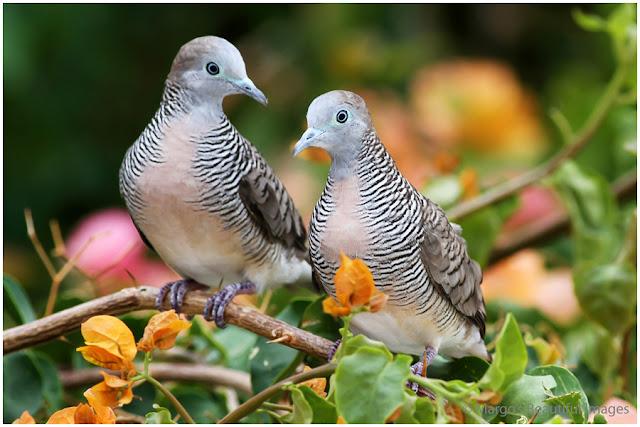 Menjaga stamina burung perkutut