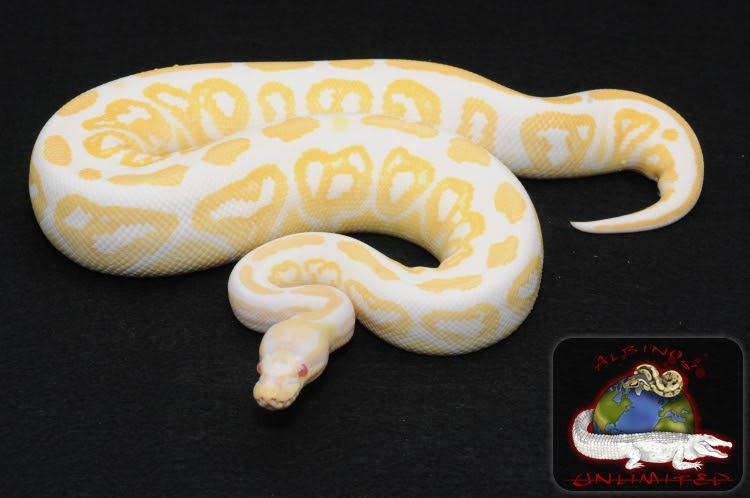 Coast To Coast Imports >> Animals world: Black pastel ball python snakes pictures some detals