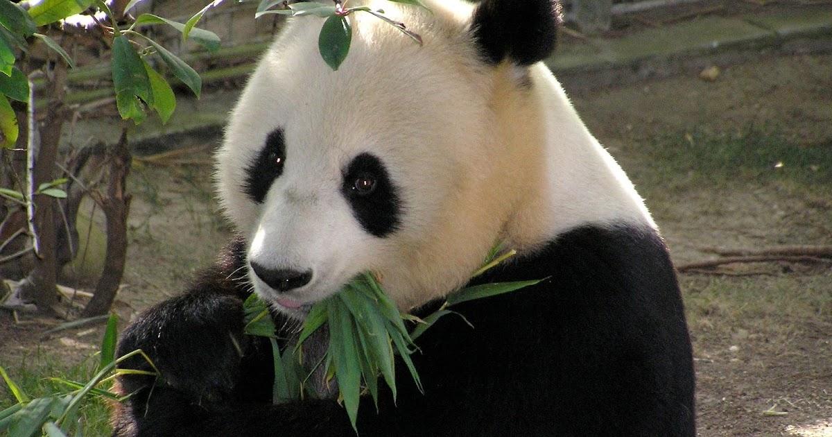 دب الباندا من أجمل أنواع الدببة في العالم