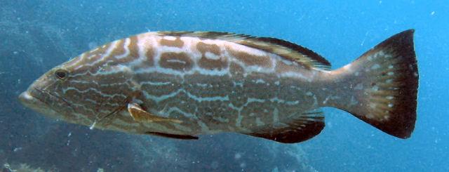 Peixe Badejo (Mycteroperca spp)