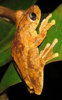 Boana rosenbergi, Rosenberg's Treefrog