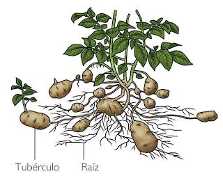 Multiplication vegetativa reproduccion asexual por