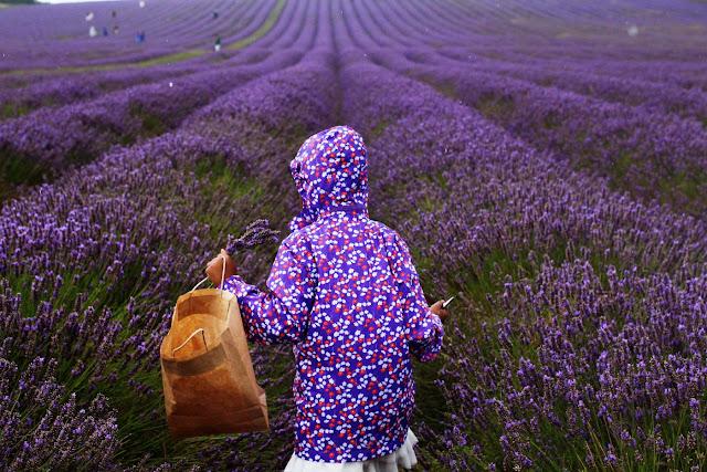 cánh đồng hoa oải hương đẹp nhất thế giới 2