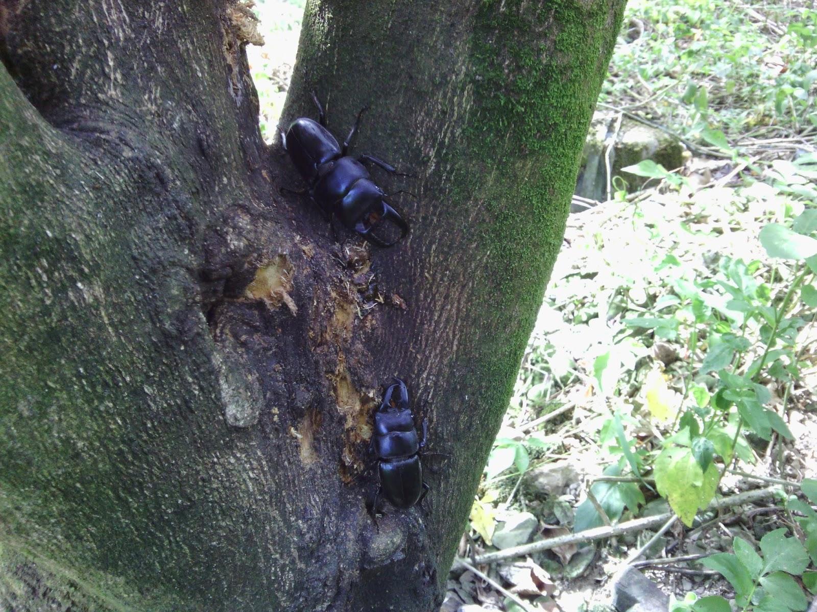甲蟲森林: 戶外觀察活動~鍬形蟲篇