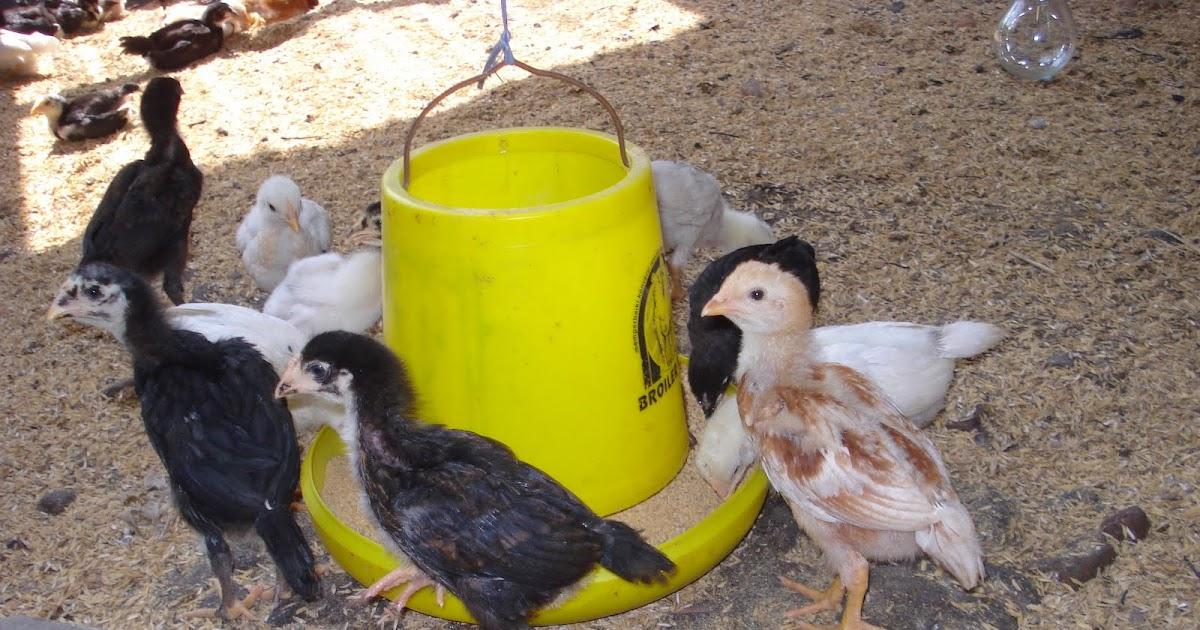 Cara Membuat Formula Pakan Untuk Mempercepat Anakan Ayam ...