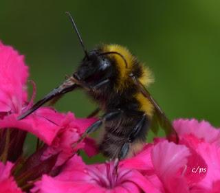 Hummel auf Futtersuche, bumblebee search for food.