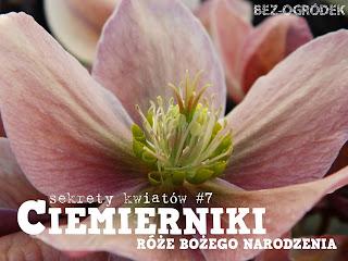 różowy kwiat ciemiernika