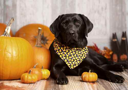 Is Pumpkin Good for My dog?