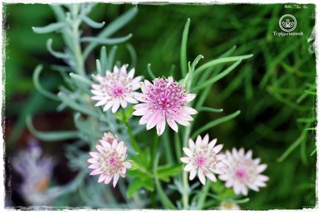 Gartenblog Topfgartenwelt Buchvorstellung: Traumhafte Landgärten durch die Jahreszeiten - Sterndolden