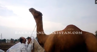 eid qurbani 2015, pakistan cow for sale, eid bull 2015, eid pictures 2015, cow video 2015, lahore cow mandi 2014