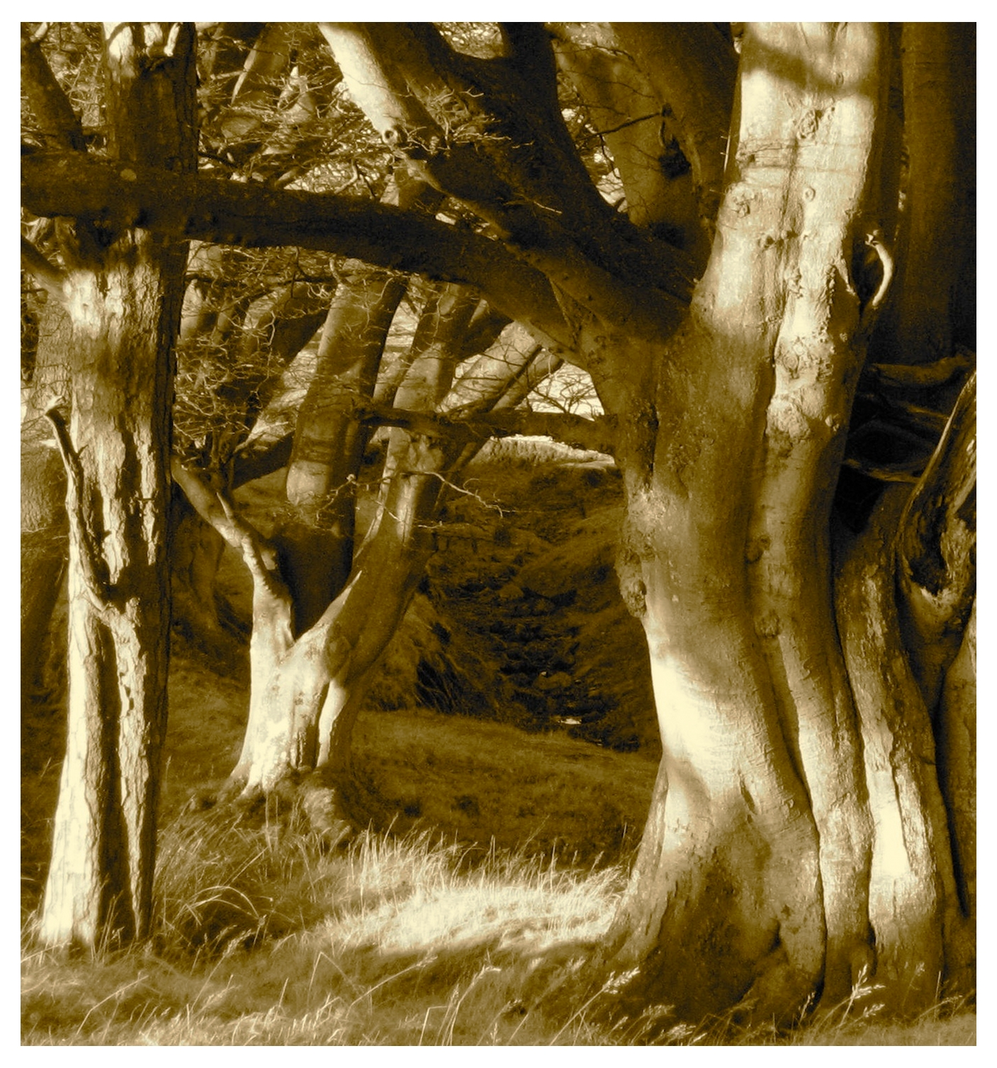 JAMES HOLLAND: TREE ANATOMY-OLD BEECH AT OLD MOOR HOUSE
