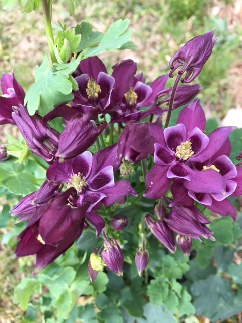 'Winky Purple-White' Columbine