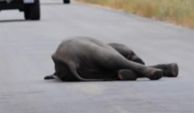Elefante pequeño se desploma y llega otro para ayudarlo