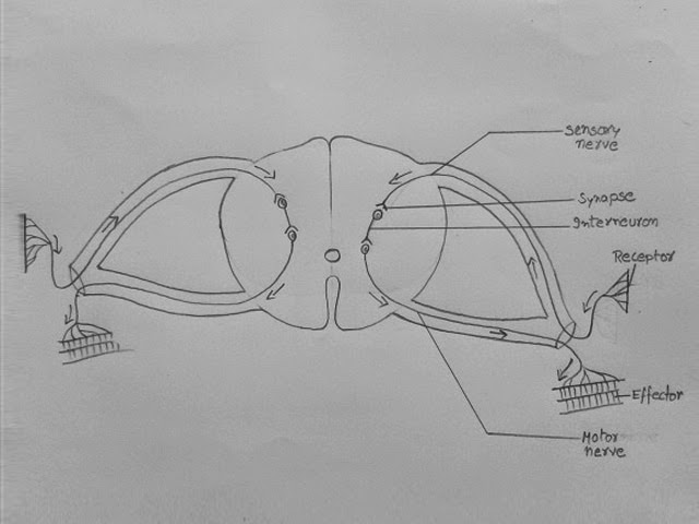 reflex arc diagram 2005 subaru stereo wiring draw it neat how to 4 connect receptor and effector with nerves as shown
