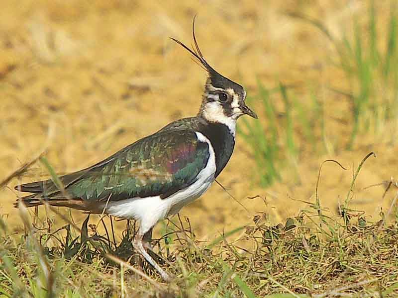bird, Northern Lapwing