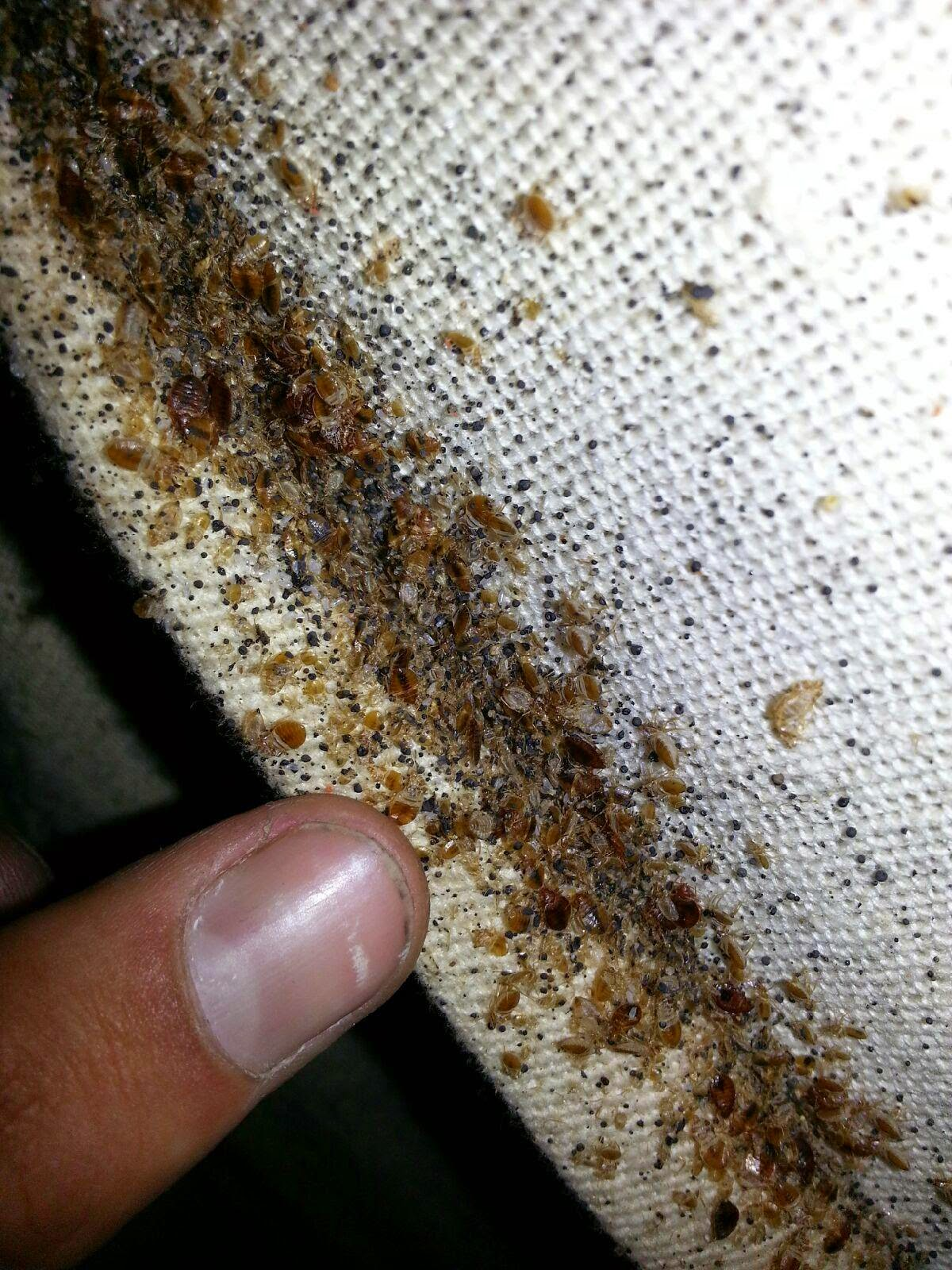 Bed Bugs,Bedbugs in mattress  Atlanta,Georgia Exterminate,Kill,Treat