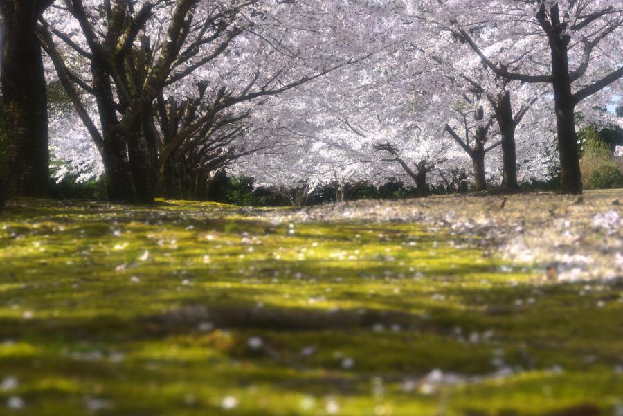 金沢市の桜の名所(大乗寺丘陵公園)