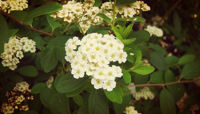 Bella planta corona de novia