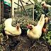 Ficatul de pasăre din alimentaţie, sănătos sau bombă cu ceas? Cine ar trebui să evite aceste mâncăruri