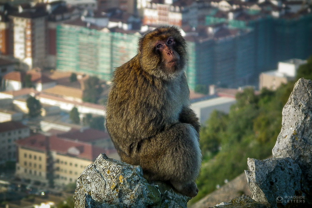 Gibraltar Barbary macaque on the rock