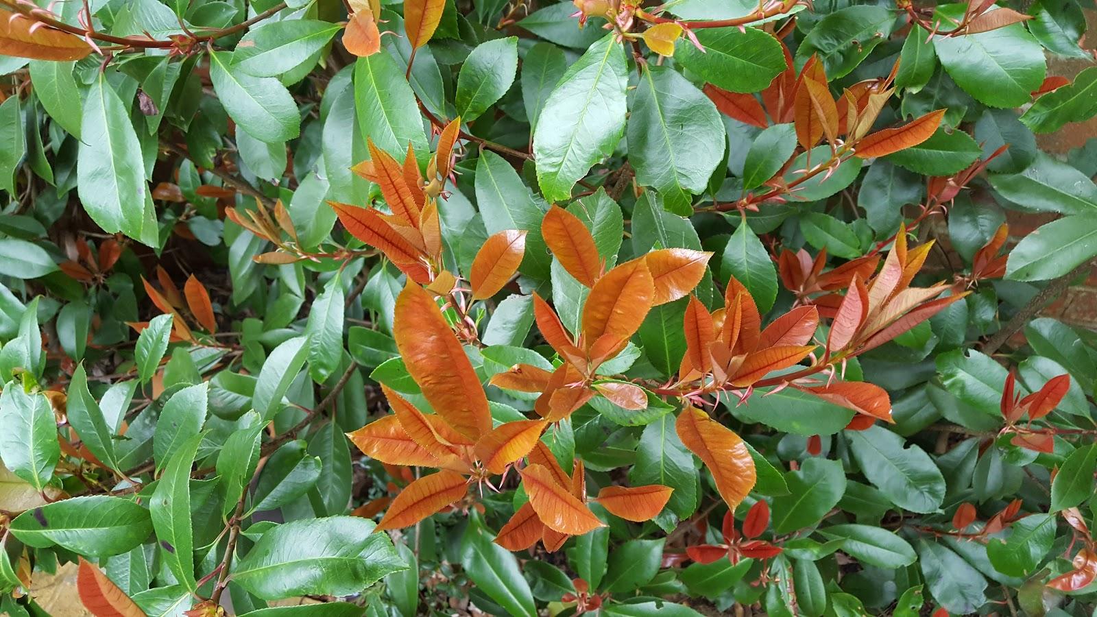 how to grow photinia red robin the garden of eaden. Black Bedroom Furniture Sets. Home Design Ideas