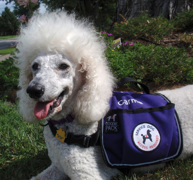 white standard poodle smiling in purple vest
