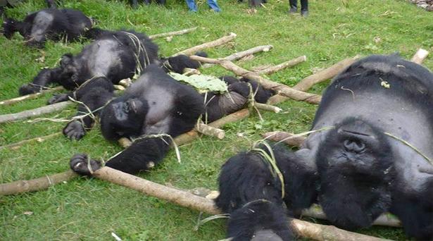 La caza ilegal del primate más grande mundo los deja al borde de la extinción