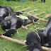 La caza ilegal del primate más grande mundo lo deja al borde de la extinción