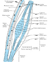 mišično vreteno