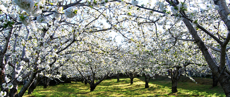El Valle del Jerte y el Cerezo en Flor