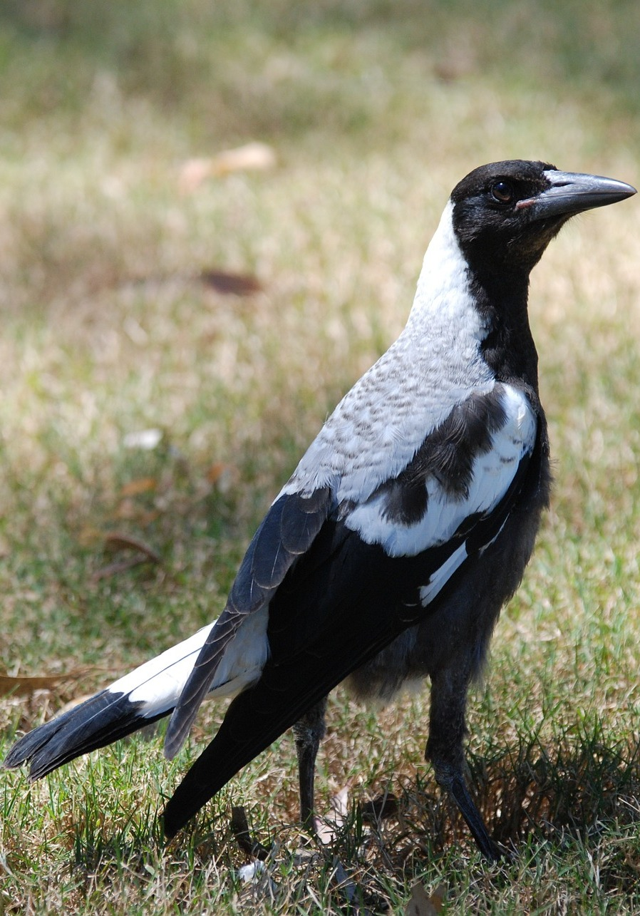 Picture of a lovely magpie.