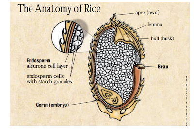 The anatomy of rice