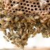 Mulher morre após ser atacada por abelhas em Estância (SE)