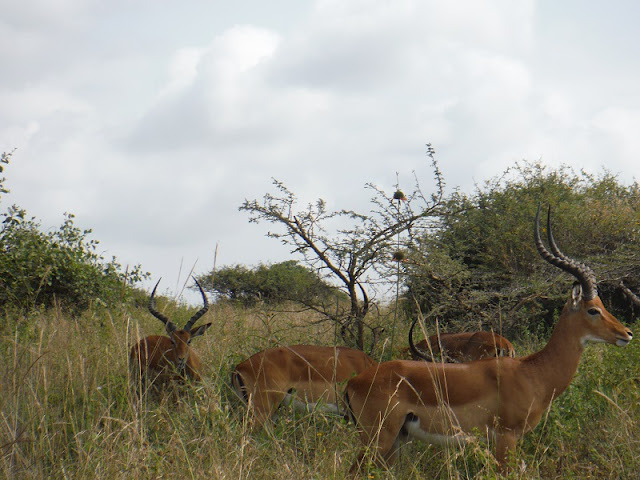 Nairobi National Park, Impalas